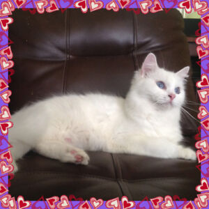 Extreamly Adorable Pure Breed Ragdoll Kittens Soon To Come!