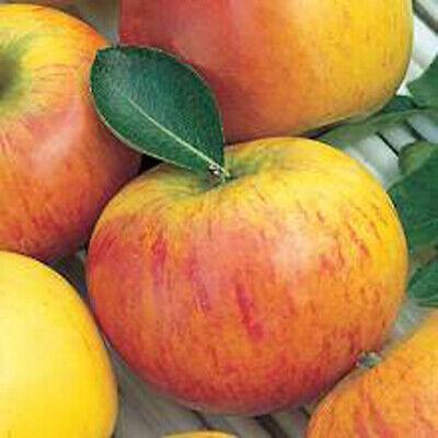 robuster Apfel Baum Elstar,Herbstapfel wohlschmeckend C