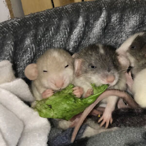 Overly Friendly baby Rats