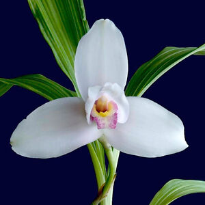 Orchid plant Lycaste Virginalis Blooming Size - available Oct 27