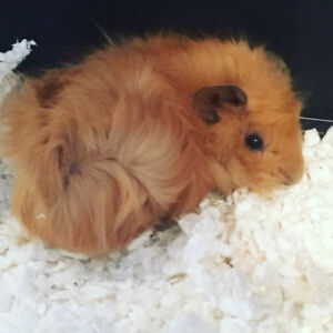Two baby female guinea pigs look for new home