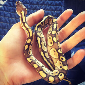 Baby male ball python with everything he needs!!