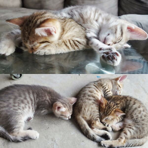 Bengal Kittens Ready to be rehomed!