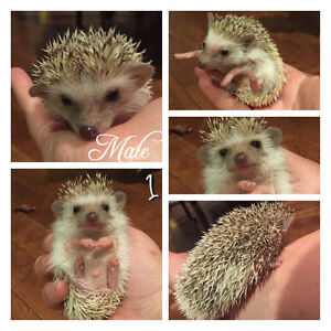 Baby Hedgehogs Ready to go November 1st