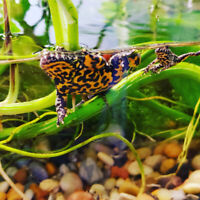 Proven trios of fire belly toads available now