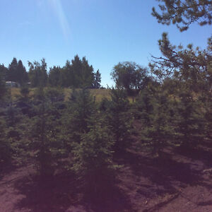 Beautiful Evergreen / Spruce Trees for sale