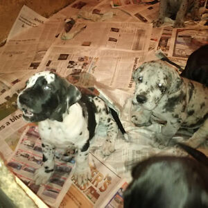 Great Dane Puppy's