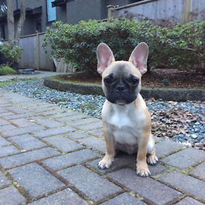 FRENCH BULLDOG PUPPY FOR SALE!!!