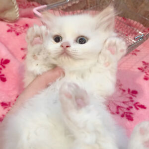 Purebred Himalayan Kittens-Flamepoint+White