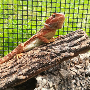 Bearded Dragon | Kijiji in Ontario  - Buy, Sell & Save with