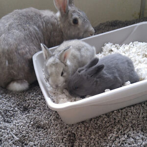 Flemish Giant Meat Rabbits / Crosses As Well!!!