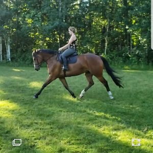 Sweet, quiet thoroughbred X clydesdale for sale