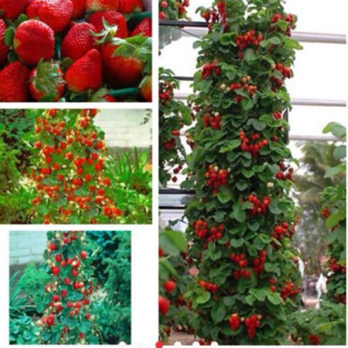 Red 100pcs Strawberry Climbing Strawberry Fruit Plant ...