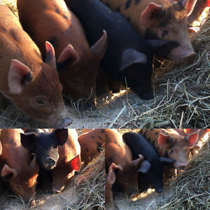 Weaner pigs Prince George British Columbia image 1