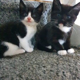 **1 Kitten left** Beautiful 9 week old Kittens ready for new home 🥰