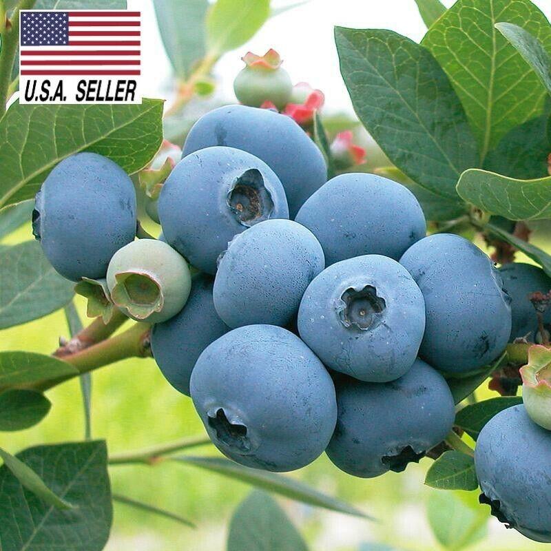 100++ Seeds Sweet High BUSH Northern BLUEBERRY Heirloom NON-GMO USA SELLER!