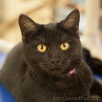 BLACK IS BACK! Adult black cats ONLY $50 to adopt!