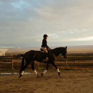 Dressage Warmblood Gelding for Lease