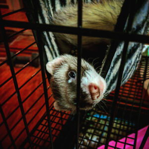 2 ferrets with cage and supplies