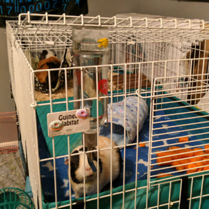 Two sister guinea pigs need a new loving home.