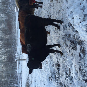 7 Quiet young open cows for sale