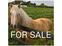 12hh Palomino mare section A