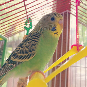 Green Budgie- Free to good home