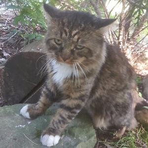 Still Missing Cat Lost in Brampton