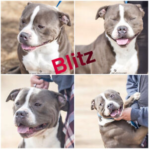 Blitz is Looking for a Foster or Foster to Adopt Home!