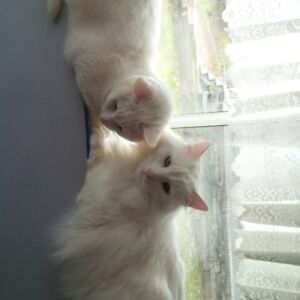 2 white cats for a loving home