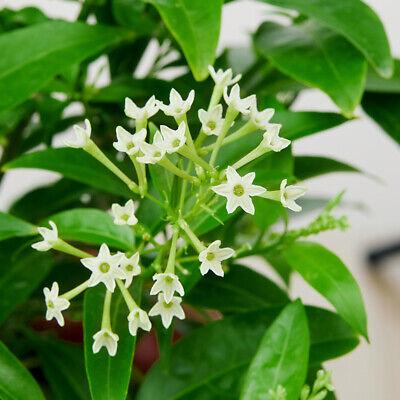 Night Blooming Jasmine Fragrant Cestrum Nocturnum Young Live Plant 5-8