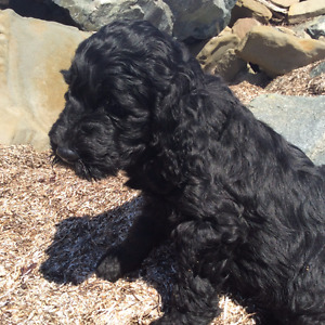 Goldendoodle Puppies F1-B  - Last Puppy- Ready to Go