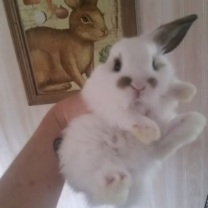 Adorable Mini Lop bunny rabbits now ready for their forever home
