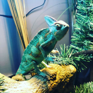'Pascal' the Chameleon for rehoming