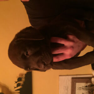 Purebred chocolate lab puppies