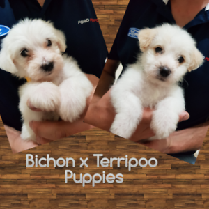 All sold - Bichon Frise x Terripoo Puppies | Dogs & Puppies