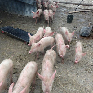 3 month old piglets for sale - delivery to Kamloops area