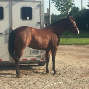 beginner Safe QH mare