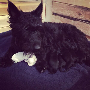 Scottish terrier puppies for sale!
