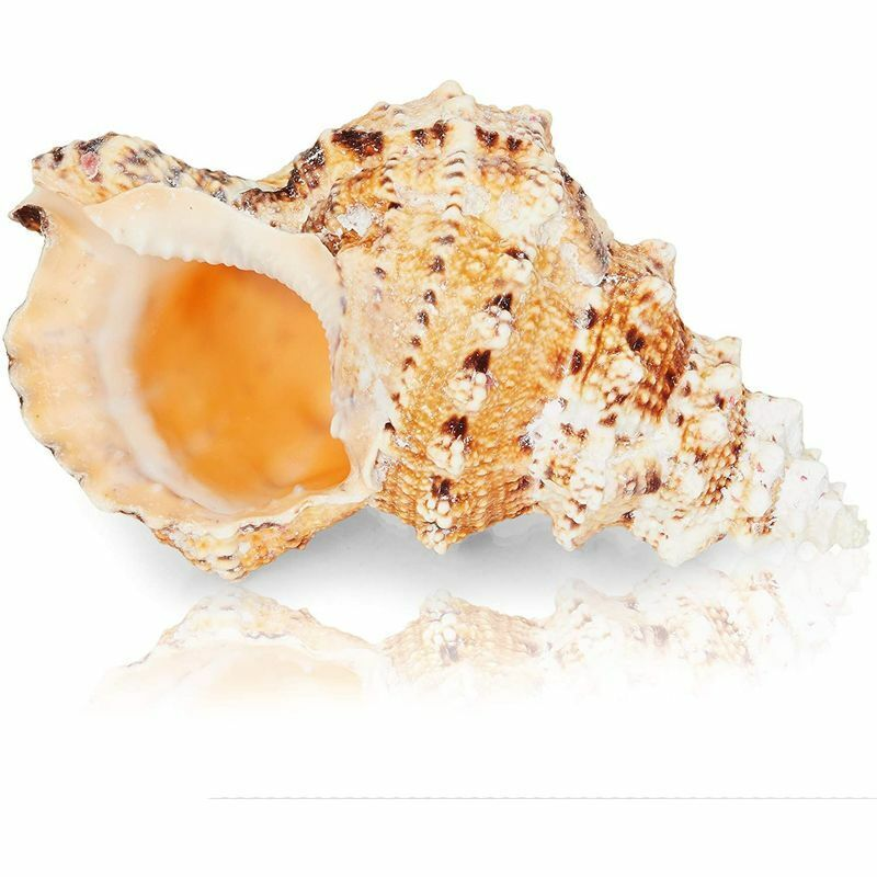 """Large 5""""-7"""" Natural Ocean Conch Sea Shell for Decorating Beach Seashell Decor"""