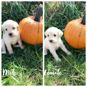 10 Labradoodle puppies ready to go October 6th