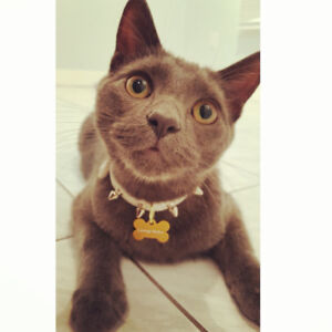 Bailey - Lost Male Cat - Dark Grey Shorthair