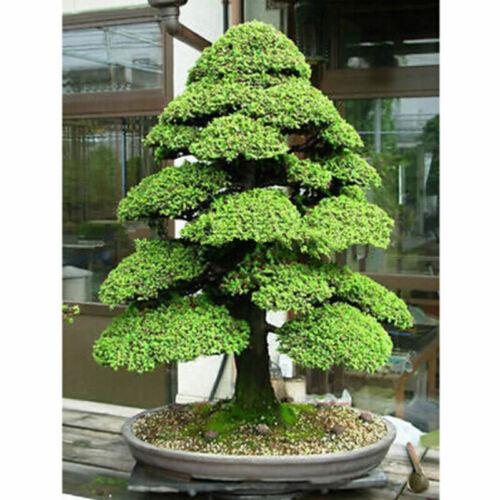20Pcs //Bag Sacred Japanese Cedar Semillas Bonsai Plant Seeds Green hot sell