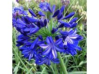 Agapanthus 25 mixed seeds £2.75 delivered. Lovely Perennial must-have!