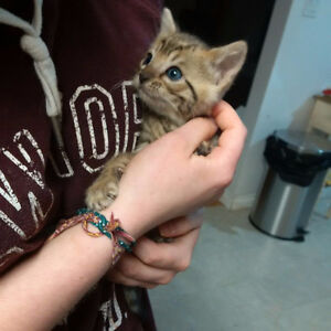 TICA registered Bengal cubs ready for new homes now