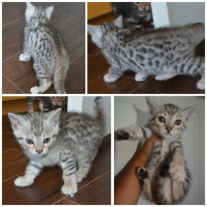 Bengal kittens soon ready for their forever homes