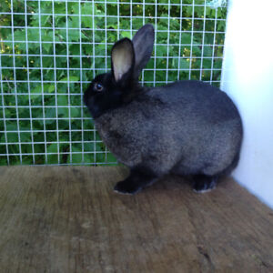 one rabbit for sale