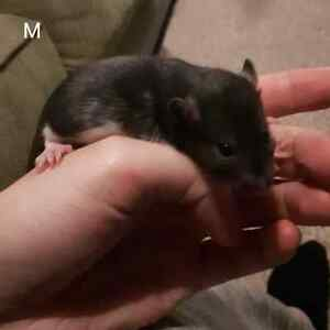 Rat babies FOR PETS ONLY Kitchener / Waterloo Kitchener Area image 3