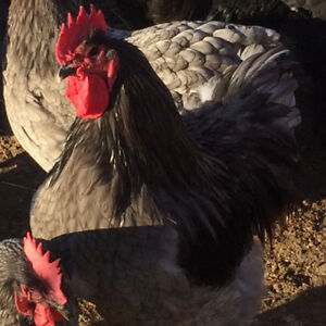 Rare Blue Australorp Roosters