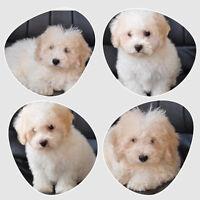 2 Bichon Puppies